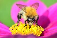 Bee (sylvette.T) Tags: nature bee 2015 extendertube bagueallonge nikond5100 objectifnikon50mm14g
