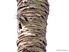 Pica-pau-verde-barrado (Colaptes melanochloros). (Helio Lourencini) Tags: greenbarredwoodpecker colaptesmelanochloros picapauverdebarrado