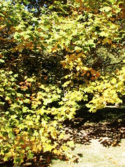 Lrien (Ninquelen) Tags: autumn tree nature lorien liriodendron