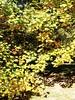 Lórien (Ninquelen) Tags: autumn tree nature lorien liriodendron
