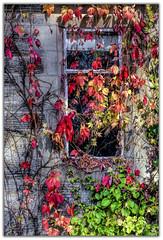 Cottage Window (Digital Wanderings) Tags: autumn colour fall window leaves virginiacreeper bostonivy