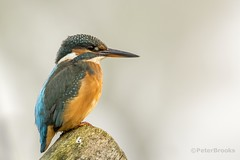 Kingfisher (Alcedo atthis) - East Sussex (PeterBrooksPhotography) Tags: uk autumn wild portrait mist bird river season sussex nikon post wildlife kingfisher perched habitat eastsussex alcedoatthis peterbrooksphotography ©peterbrooks