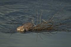 North American Beaver (Castor canadensis) DDZ_2499 (NDomer73) Tags: mammal october beaver tetons better grandtetonnationalpark 2015 northamericanbeaver 18october2015
