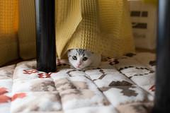 cute kitten (keiminiminasi) Tags: cute animal cat kitten 猫 動物 可愛い 子猫
