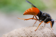 Potter Wasp copyright Rosie Nicolai (Happy days 09) Tags: macro animal insect australia newsouthwales masonwasp potterwasp mudnest orderhymenoptera familyvespidae subfamilyeumeninae copyrightrosienicolai genuseumenes orangeandblackcolour