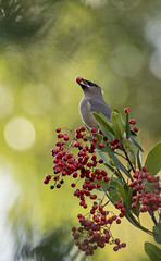 Cedar Waxwings (sandranne2) Tags: holiday bird nature berry december berries wildlife cedar sandrine waxwings toyon scherson biziaux