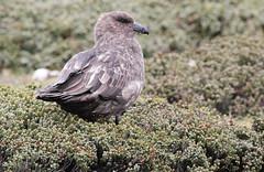 Brown Skua (Med Gull) Tags: cruise expedition falklandislands skua jimwilson brownskua lasmalvinas seaadventurer bleakerisland zegrahmexpeditions
