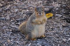 Autumn Squirrels at the University of Michigan (November 20, 2015) (cseeman) Tags: squirrels annarbor michigan animal campus universityofmichigan umsquirrels11202015 fall autumn eating peanut acorns novemberumsquirrel gobluesquirrels umsquirrel foxsquirrels easternfoxsquirrels michiganfoxsquirrels universityofmichiganfoxsquirrels