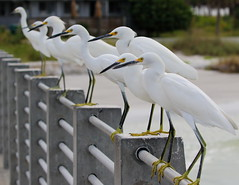 Everyone With Yellow Feet Over Here (Darts5) Tags: bird birds closeup canon upclose egret snowyegret whitebird whiteheron yellowfeet 7d2 7dmarkii canon7d2 canon7dmarkii 7dmarkll canon7dmarkll ef100400mmlll 7d2canon