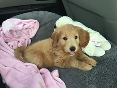 maggie-on-her-ride-home--maggie-is-sophia-and-cjs-little-girl_17280048132_o