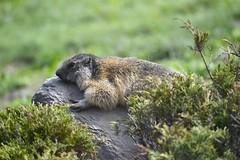 Marmotta (Paolo DELMASTRO) Tags: groundhog hamster murmeltier marmotte marmotamarmota
