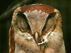 Oriental Bay-owl (Standardwing) Tags: orientalbayowl tytonidae phodilusbadius weltvogelpark weltvogelparkwalsrode