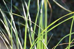 Grasses (ngawangchodron) Tags: m32 victoriagridproject oakbay victoria bc canada vancouverisland taken15december2016 yyj