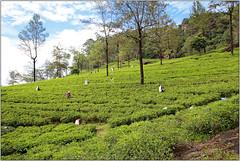 Tea Plantation (Mabacam) Tags: asia southasia srilanka ceylon island hillcountry tea plantations teaplantation teapickers nuwaraeliya highlands