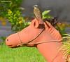 Bem-te-vizinho (Myiozetetes similis) - Social Flycatcher (Roberto Harrop) Tags: bemtevizinho myiozetetessimilis socialflycatcher bemtevi aves birds pássaros aldeia paudalho robertoharrop