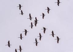 Sandhill Cranes (piano62) Tags: sandhillcranes birds birdmigration chicago