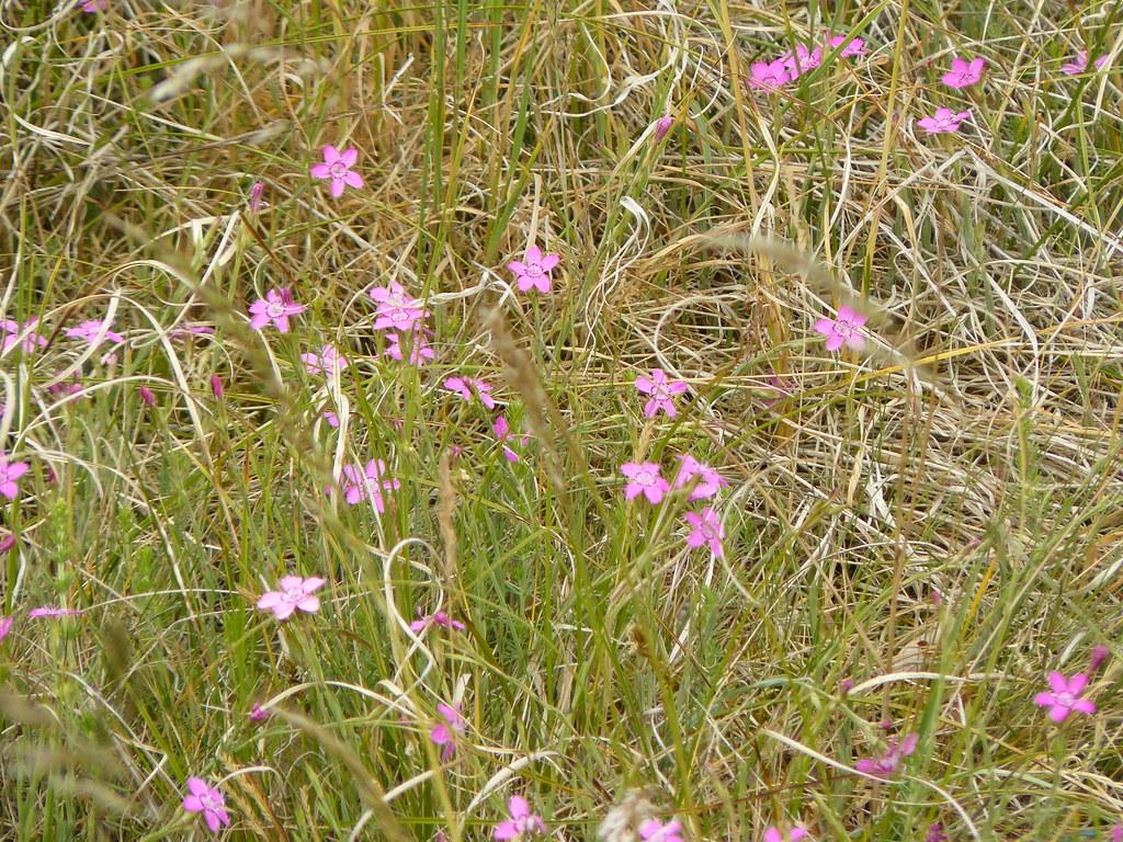 Dianthus deltoides- Heidenelke1