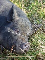 Happy Hog! - For Smile On Sunday! (RiverCrouchWalker) Tags: hapyhog smileonsunday noke farm oxfordshire pig grass snoozing
