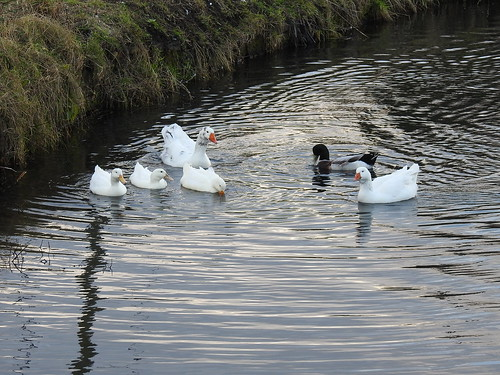 Water Fowl, Monmouthshire-Brecon Canal, Two Locks, Cwmbran 15 January 2017