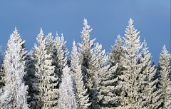 Frosty trees (- Man from the North -) Tags: tree trees fros winter sunny outdoors sky finland ostrobothnia