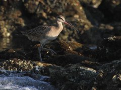 Afternoon d'light :) (Paridae) Tags: whimbrel numeniusphaeopus birdsofthepacific seashore birdsofmexico shorebirdsofmexico shorebirds shorebirdsofthepacific thingswithwings afewofmyfavouritethings featheredfriends birdsofafeather canoneos7d