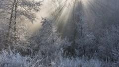 *winter light* (albert.wirtz) Tags: albertwirtz deutschland europa europe germany rheinlandpfalz rhinelandpalatinate eifel südeifel eifelmosel moseleifel lieser hoarfrost raureif sonnenstrahlen nebel fog mist nebbia niebla brume sunspots winter bäume sträucher neumühle altrich gegenlicht