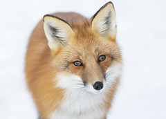 Red Fox (sspike@rogers.com) Tags: fox red ontario beautiful steverossi nature wildlife canon portrait full frame green happynewyear
