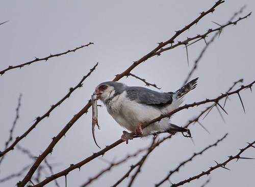 Pygmy Falcon, male , bringing Lizard to nest, Mokala National Park, N Cape_4715