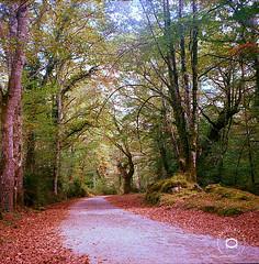 UCIEDA en 120 mm (cabite30) Tags: ucieda rolleiflex automat otoño autum hojas camino cabite arboles trees