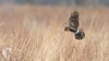 Northern Harriers of Mercer - 6 (RGL_Photography) Tags: bif birds birdsinflight birdsofprey circuscyaneus henharrier marshhawk mercercounty mothernature nikonafs600mmf4gedvr nikond500 northernharrier raptors wildlife wildlifephotography lawrencetownship newjersey unitedstates us