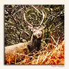 """""""The Look"""" Mull Stag_7108a (The Terry Eve Archive) Tags: stag antlers branches twigs painterlyeffect deer terryevephotography"""