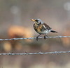 Bird on a wire (take 2) (Cal Killikelly) Tags: scandanavian migrant bird winter visitor uk north wales cheshire dee estuary rspb wildlife nature perched fieldfare outdoor