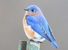 eastern bluebird male at Decorah Prairie IA 854A2534 (lreis_naturalist) Tags: eastern bluebird male decorah prairie winneshiek county iowa larry reis