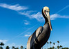 King of the Pier (danielledufour430) Tags: nature wildlife animal bird pelican sky blue palmtrees sonya6000 beak feathers