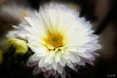 """""""Flowers are so restful to look at. They have neither emtions nor conflicts."""" Sigmund Freud (traptiantiwary) Tags: flower whiteflower chrysanthemum nature canondslr india"""