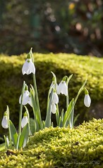 Springlike.! ( Explored ) (nondesigner59) Tags: snowdrops flora nature moss flowers lowperspective closeup copyrightmmee eos7dmkii nondesigner nd59