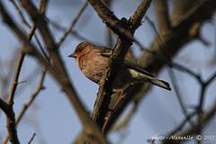 fringuello (Alessandro.Gallo) Tags: photoalexgallo pianurapinerolese fringuello volatile uccello