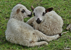 Dous años (Franco D´Albao) Tags: francodalbao dalbao lumix corderos años lambs agnus animal pareja couple bebés babies lana wool galicia naturaleza nature