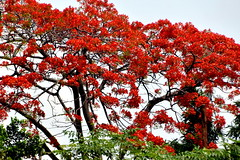 Flourishing Tree, Bali (Manoo Mistry) Tags: nikond5500body nikon tamron18270mmzoom bali indonesia tourism villalumbung seminyak tree flowers red pink