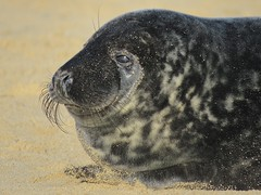 Grey Seal Pup (mr_snipsnap) Tags: beach coast sand norfolk wildlife fauna grey seal baby pup sea nature mammal