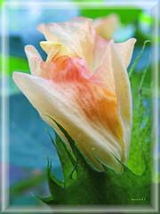Asiatische Baumwolle / Gossypium arboreum (Martin Volpert) Tags: blumen blossoms flower fleur fiore flor mavo43 blüte cvijet kvet blomster floro õis lore kukka bláth virág blóm flos žiedas zieds bloem blome kwiat floare ciuri flouer cvet blomma çiçek pflanze