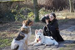 Moonmoon-Timbershepherd-Najawarie-Ewok-AustralianShepherd (JChristophePhotography) Tags: australian timber shepherd timbershepherd happy dog happydog joyeux chien heureux fluffy fluffydog whitedog blanc crème wolf wolfdog mutt
