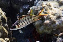 spotfin-squirrelfish: Neoniphon sammara (kris.bruland) Tags: spotfinsquirrelfishneoniphonsammara holocentridae neoniphonsammara kahaluubeachpark spotfinsquirrelfish sammarasquirrelfish squirrelfish alaihi kailuakona kona northkona keahou westhawaii hawaiicounty bigisland coral hawaii hawaiian creature reef pacific ocean scuba sea snorkel underwater snorkeling tropical dive diver diving ecology ecosystem environment environmental fish krisbruland ichthyology ichthyologist island islands marine nature organism outdoor saltwater science undersea vertebrate water zoology life sandwich animal aquatic biology