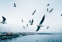 Lac Léman. (Matthieu Robinet) Tags: 2017 geneve winter birds seagulls lake blue vsco massive flight amazing movement cold wings freedom grain day