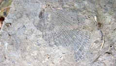Bivalve fossil (Upper Mercer Limestone, Middle Pennsylvanian; Rock Cut railroad cut, south-southeast of Dresden, Ohio, USA) (James St. John) Tags: fossiliferous upper mercer limestone pottsville group pennsylvanian rock cut dresden muskingum county ohio fossil fossils bivalve bivalves clam clams aviculopecten scallop scallops pectinidae aviculopectinidae