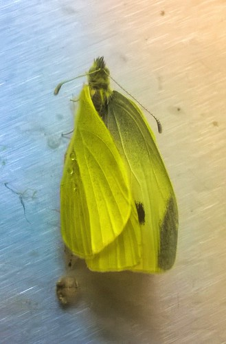 Cabbage white emerging, Mbl phone snaps 05092016 (3)