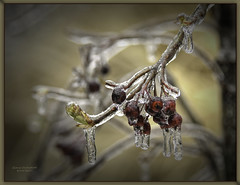 Last Days of Winter (GloriaOcch) Tags: ice closeup winter march berries