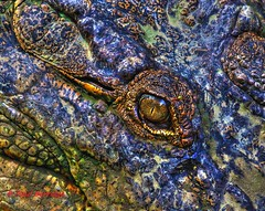 Saltwater Crocodile. Crocodylus porosus. (paulberridge) Tags: saltwatercrocodile crocodylusporosus reptile crocodile salty wild wildlife nature native australian cairns queensland australia capeyork mangroves saltwater cannon nationgeographic animalplanet pmwildlifeandnature photography macro google image swamp lake river sea predator apex