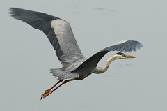 Great Blue Heron In Flight (ozoni11) Tags: lake bird heron nature water birds wow wonderful pond superb gorgeous great wetlands excellent impressive greatblueheron herons greenheron featheryfriday interestingness465 i500 judgmentday53 specanimal