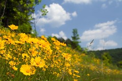 A Hillside of Yellow (Robby Edwards) Tags: flower tag3 taggedout tag2 tag1 cumberlandgap nationalhistoricalpark payitforward gtaggroup cumberlandgapnationalhistoricalpark